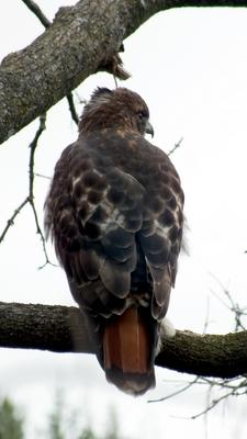 Red Tailed Hawk, Markham, Ontario