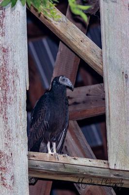 Vulture in barn in Amherstburg