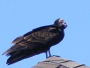 Possible Black Vulture in Brampton