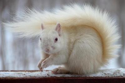 White Squirrel in Inverary