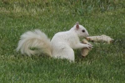 White Squirrel in Belle River, picture taken by DeAnn Pich