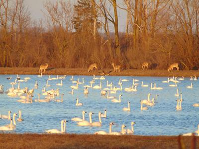 Tundra Swans and White Tailed Deer