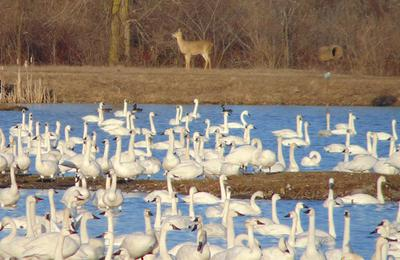 Tundra Swans and Whitetailed Deer