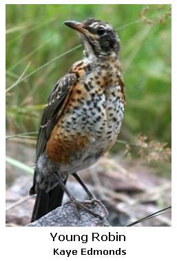 North American Robin - juvenile
